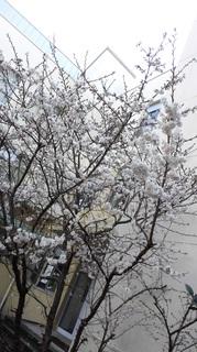 中庭の桜�A.jpg