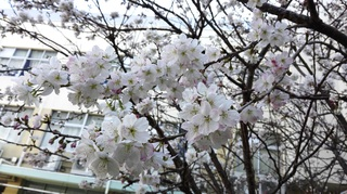 中庭の桜�C.jpg